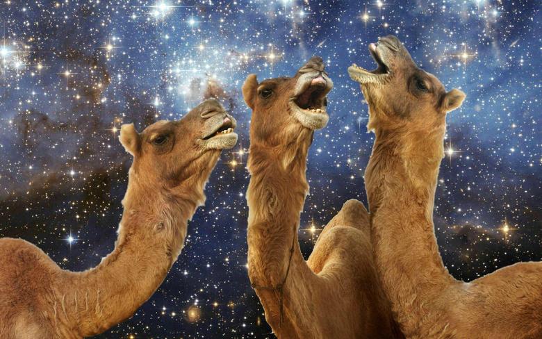 Llama laughing wallpapers