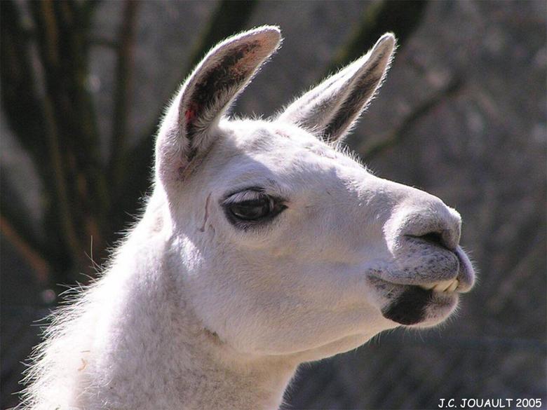 Alpacas and Llamas image Llama wallpapers HD wallpapers and