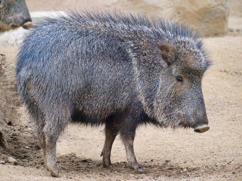 The Collared Peccary also sometimes called the Javelina is