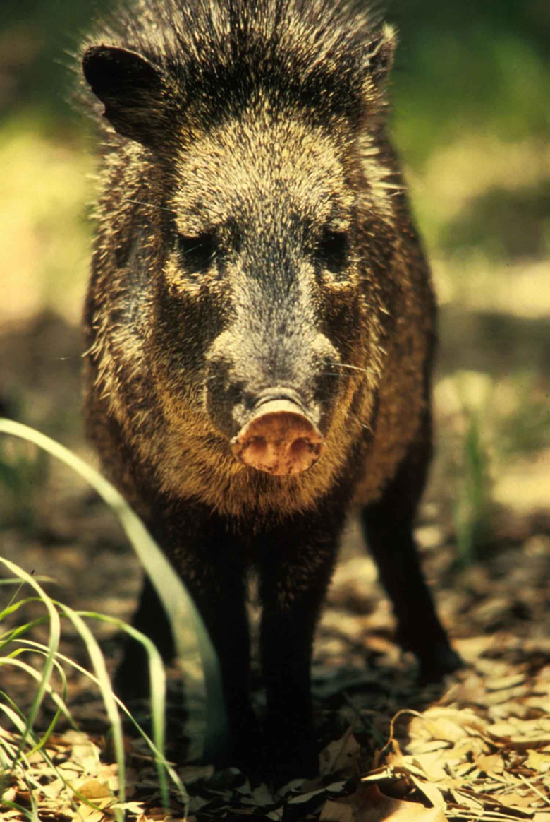 picture peccary javelina wild boar skunk pig