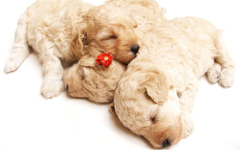 Cute Sleeping Puppies Wallpapers