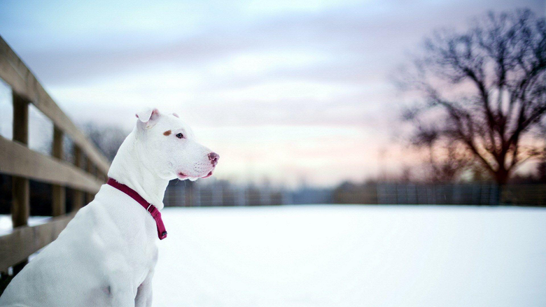 Pit Bull Dog Friend Winter Snow Fence HD Wallpapers