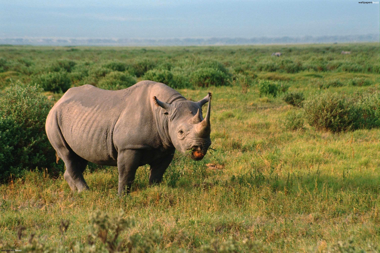 Lonely rhino HD Wallpapers