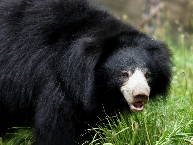 Sloth Bear Wallpapers and Backgrounds Image