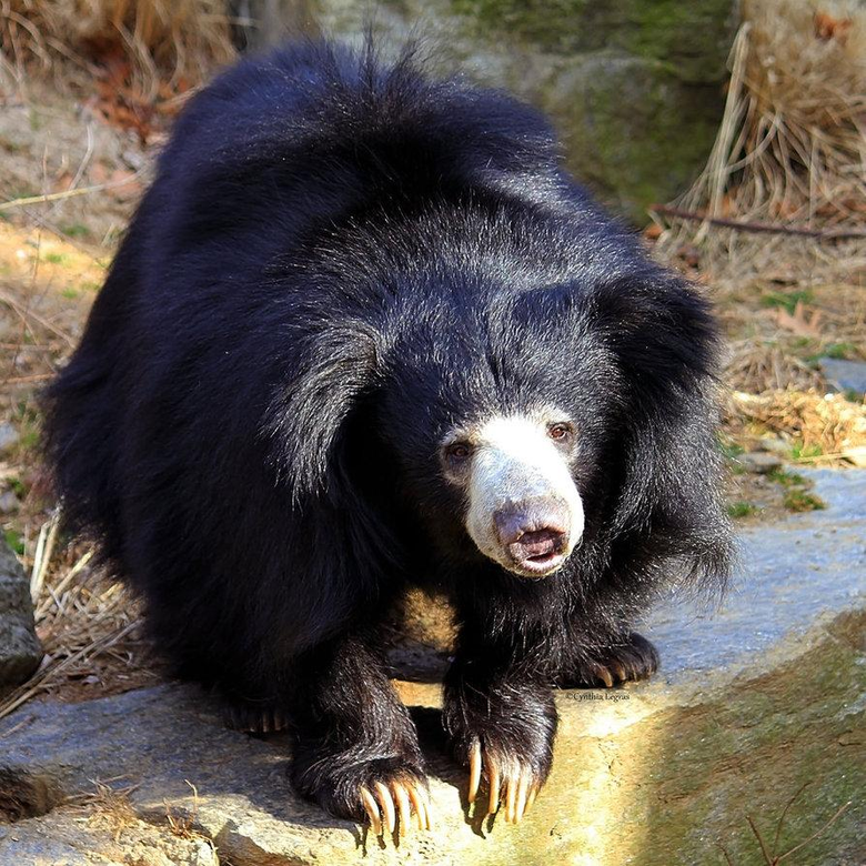 Sloth bear Wallpapers animalplanethdcom Sloth