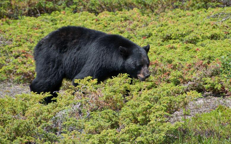 Black bear walking through the green small plants wallpapers