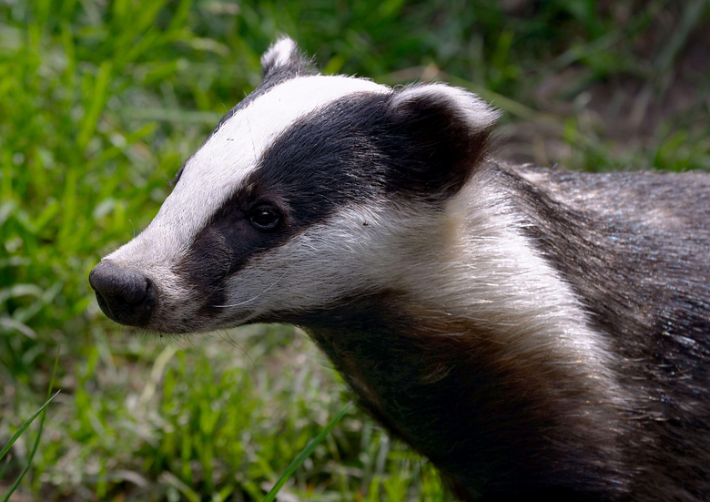 badgers we don t need your stinking badgers