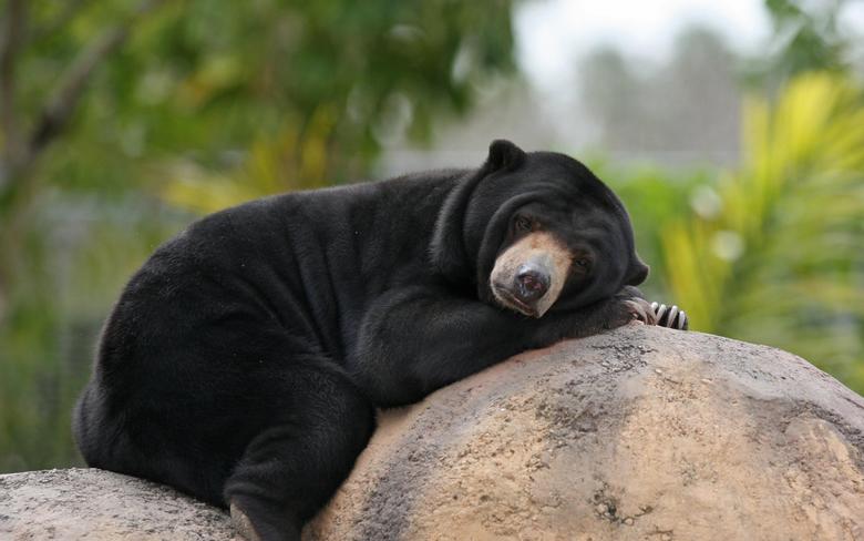 wallpapers Malayan Sun Bears bear lazy bear