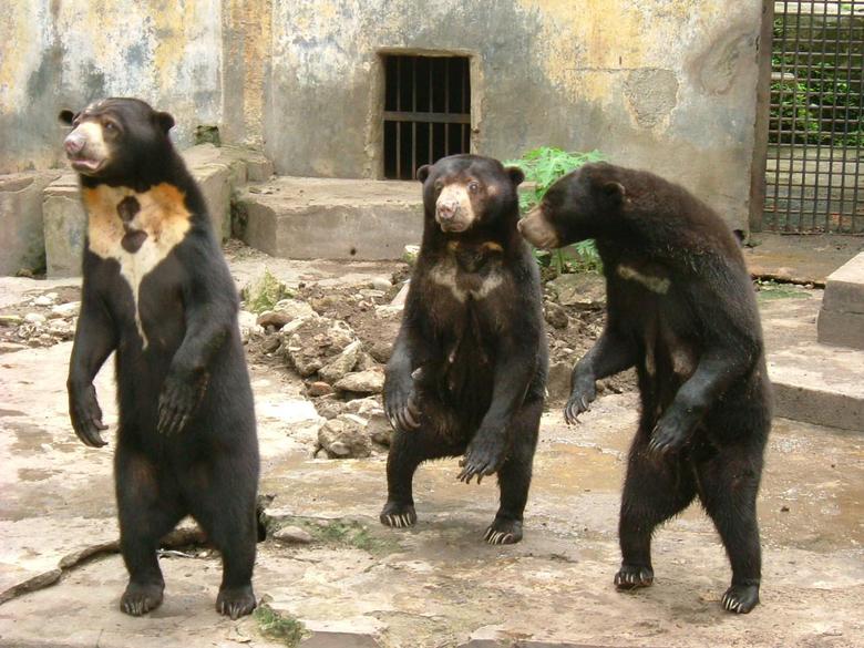 Why Sun Bears are Weird