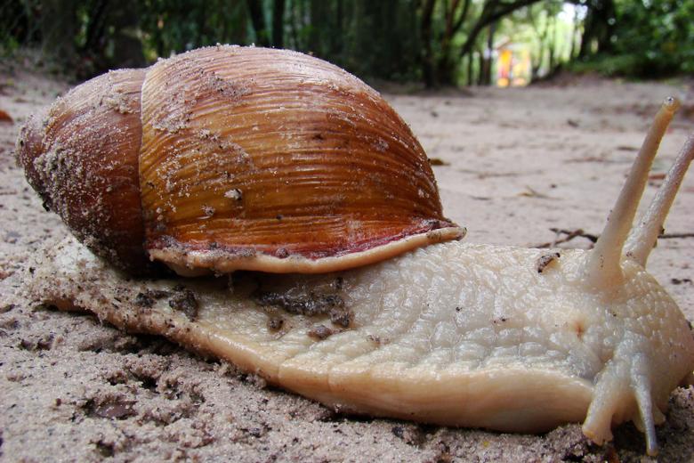 stock photo of garden snail gigant snail
