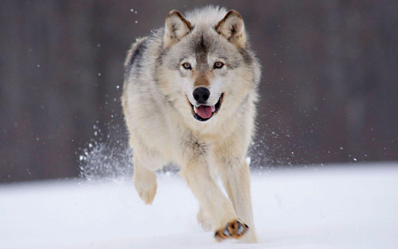 Wallpapers Hd Wolf Image 6 HD Wallpapers