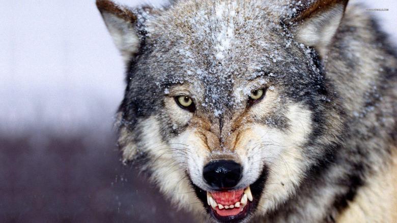 HD Wolf Desktop HD Wallpapers Wallpapers Database