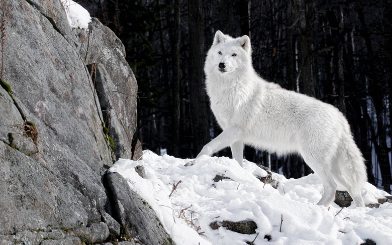 Wallpapers For Alpha Wolf Wallpapers Hd