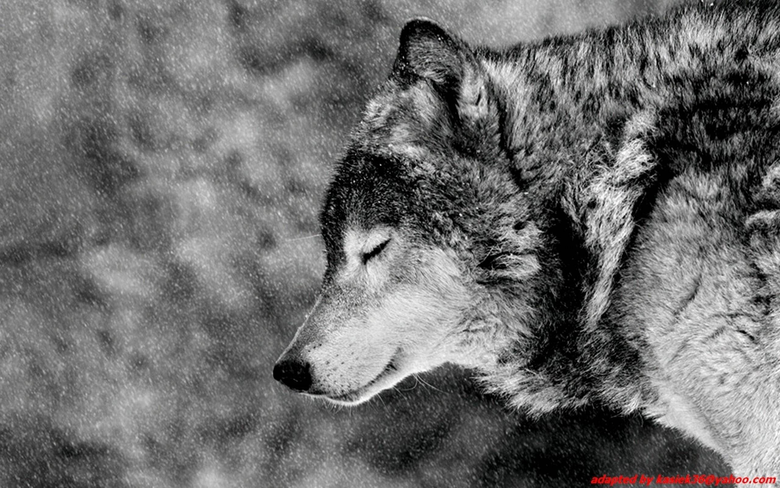 Image For Alpha Wolf Wallpapers Hd