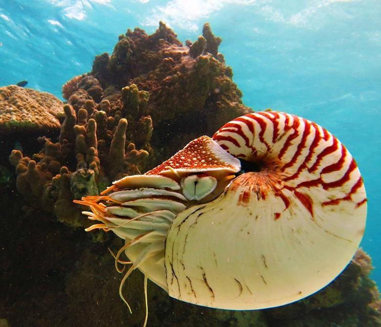 Nautilus is the common name of pelagic marine mollusks of