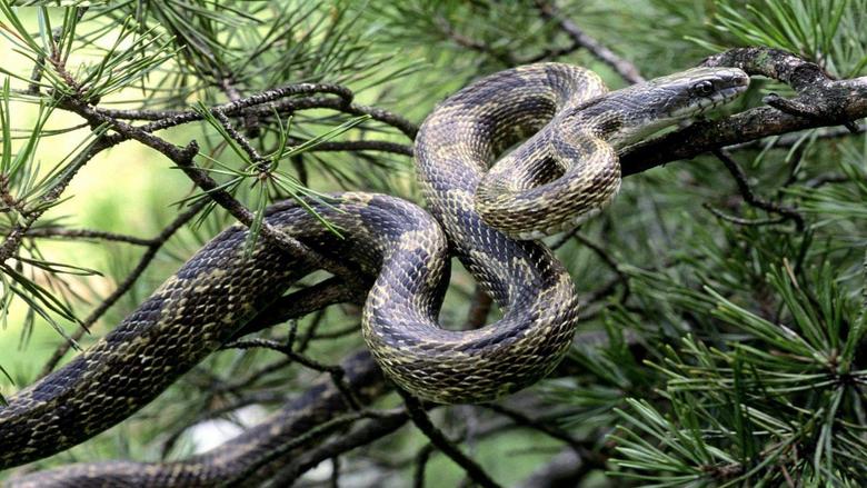 Snake Anaconda Wallpapers Hd Superb Hd Desktop Image
