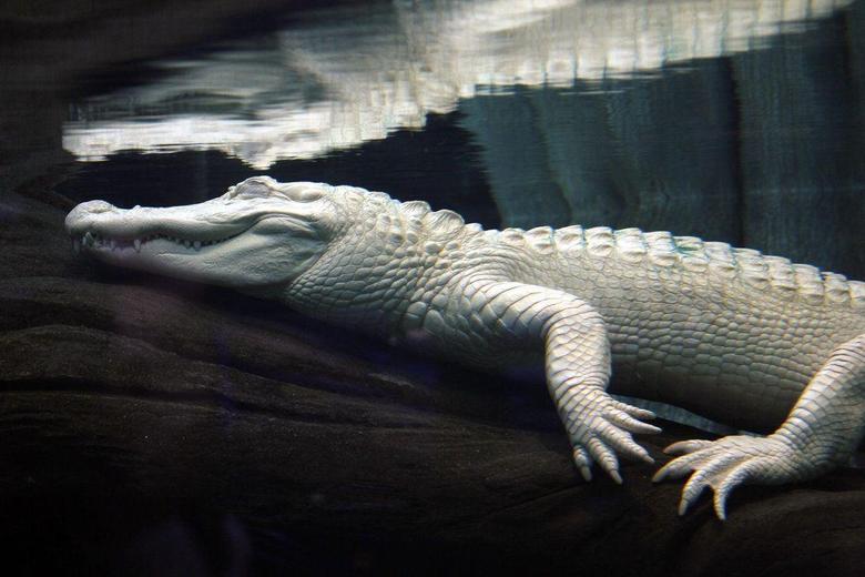Leucistic alligator Image HD Wallpapers Logo And Photo