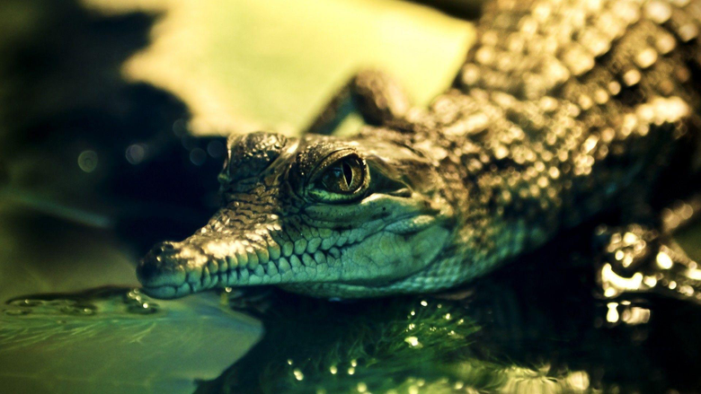 Nice Alligator HD Wallpapers Logo And Photo Cookies