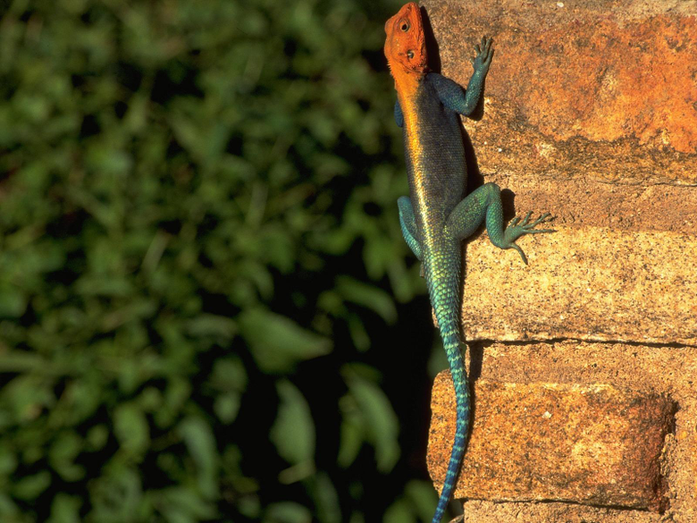 Red headed Rock Agama Wallpapers Other Animals Wallpapers in