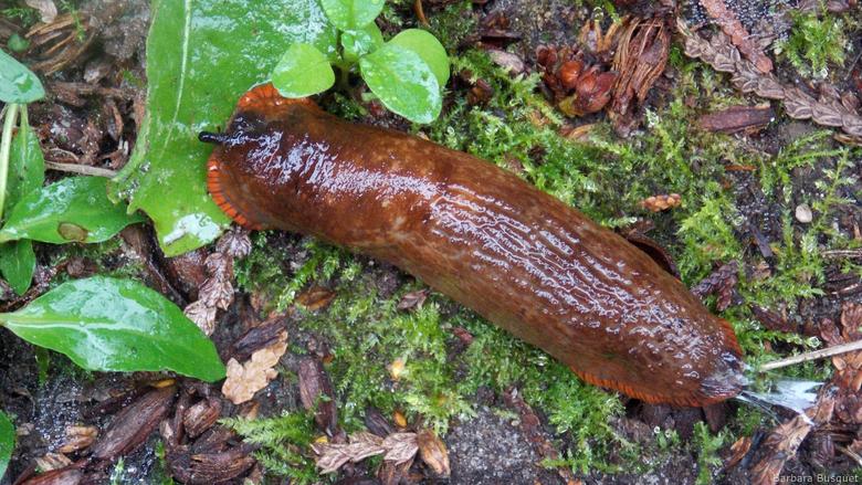 Red slug in autumn