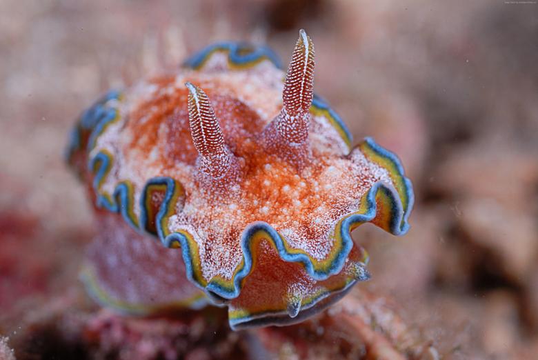 Nudibranch Wallpaper Animals Aquatic Nudibranch Deep