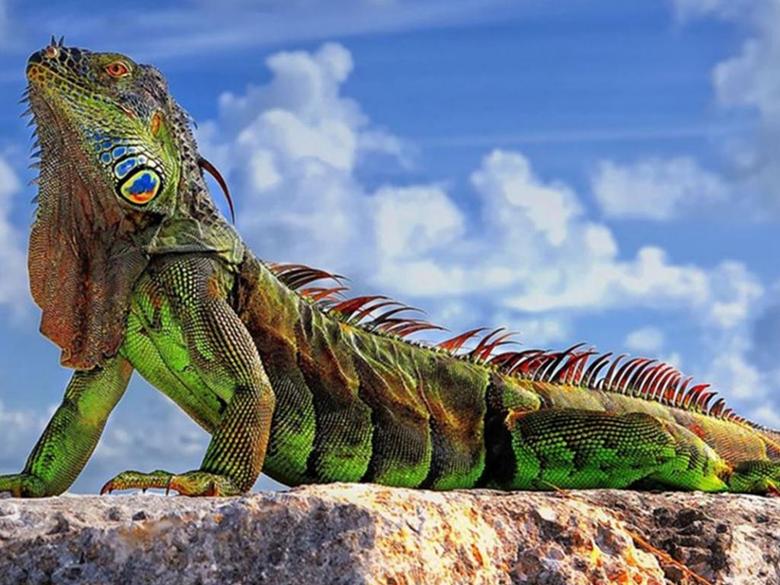 Iguana Wallpapers 26