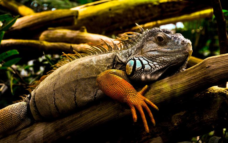 Iguana Wallpapers 4