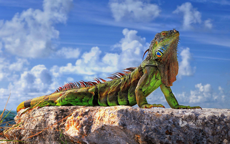 Common iguana in the Florida Keys wallpapers