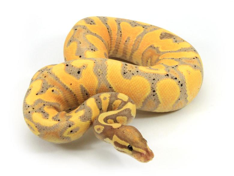 Banana Yellow Belly Markus Jayne Ball Pythons