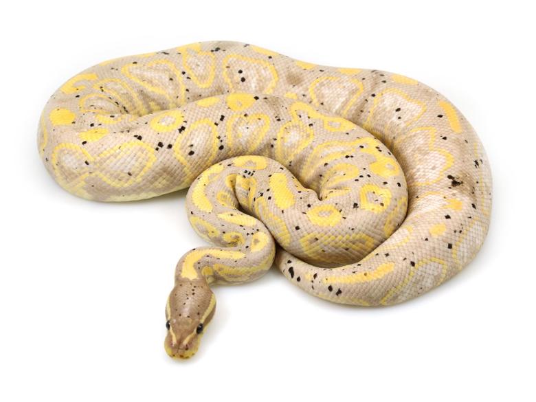 Banana Black Pastel Markus Jayne Ball Pythons