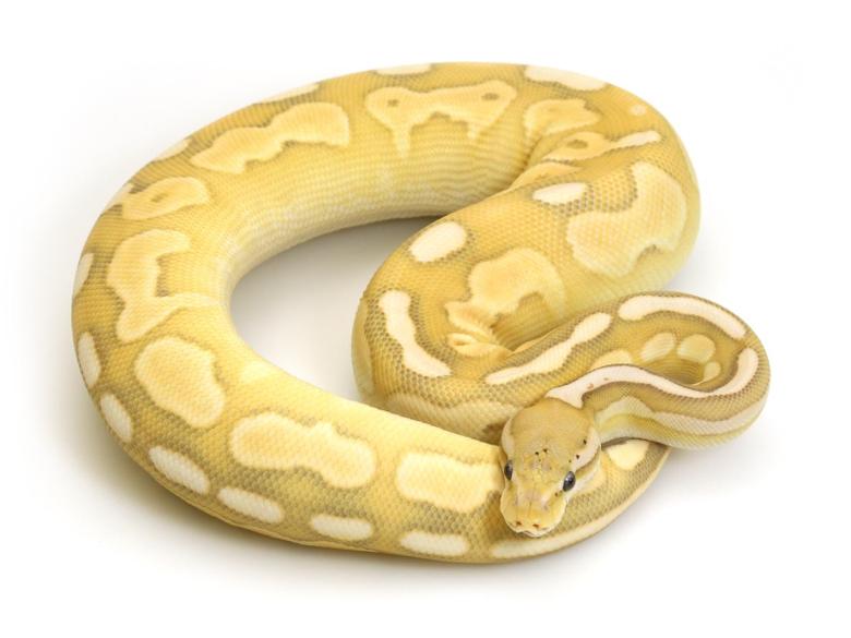 Banana Butter Cinnamon Markus Jayne Ball Pythons