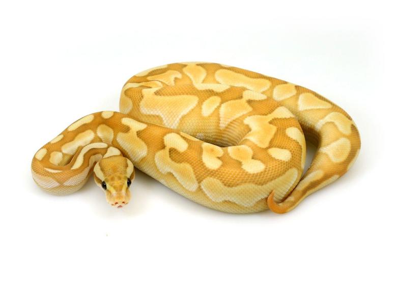 Pin on Ball python