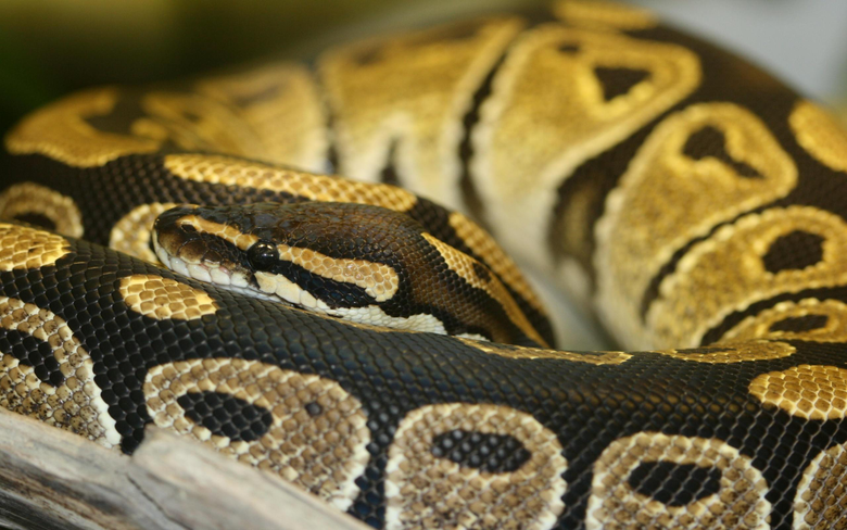 Best 41 Ball Python Wallpapers on HipWallpapers