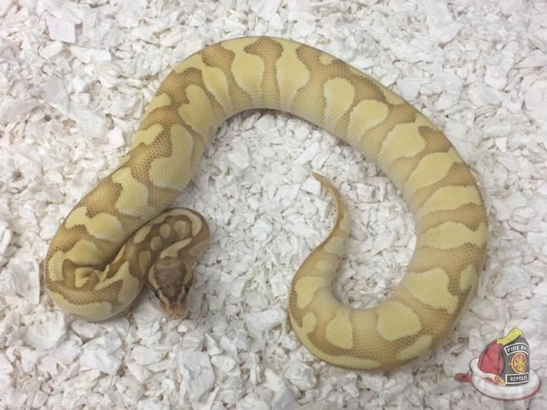 Banana Butter Enchi Ball Python by Fireball Reptiles
