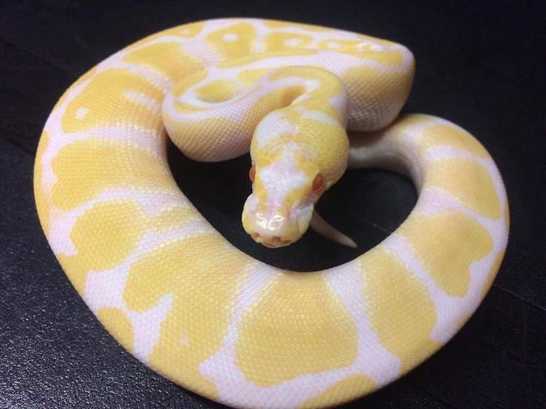 Meet Winry Our first ball python