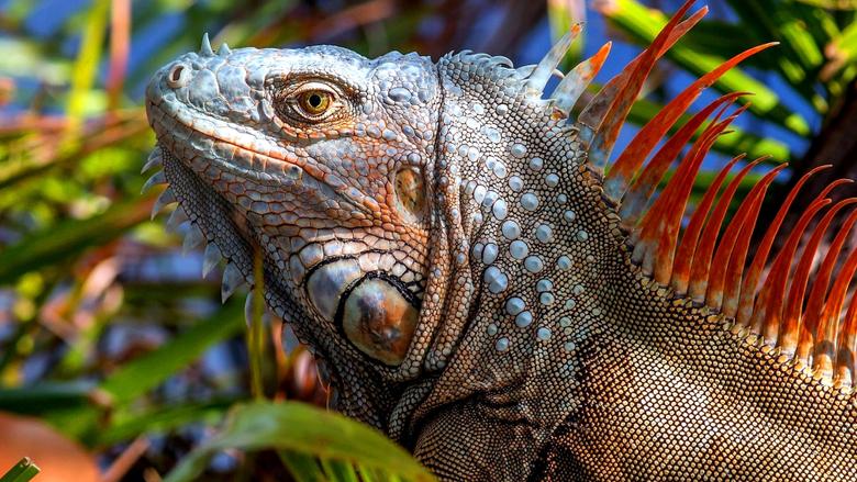 Iguana Lizard 4K UltraHD Wallpapers