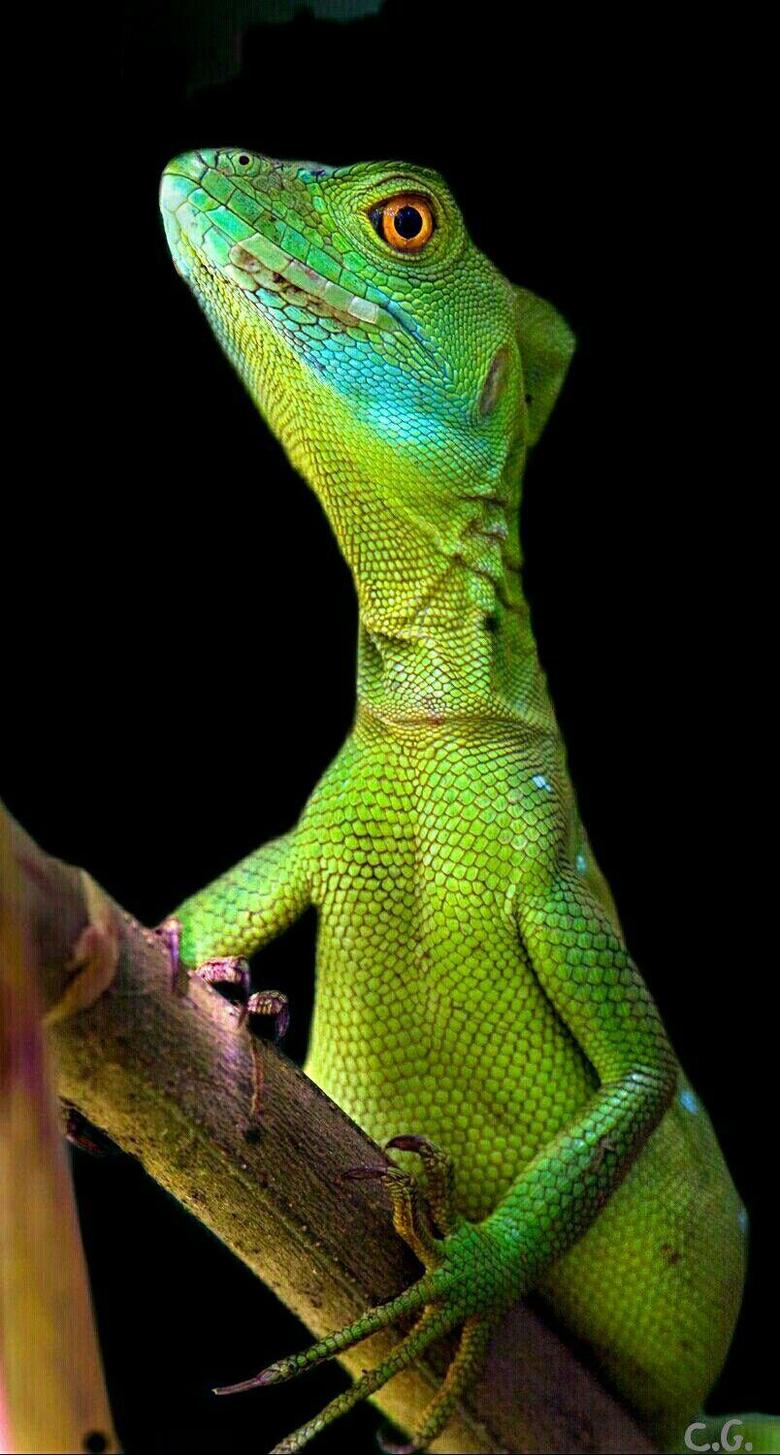 Female basilisk