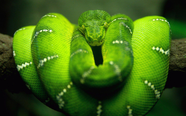 reptile snake Boa constrictor nature animals wildlife