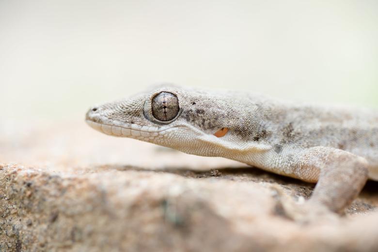 Gray reptile gecko kaeng krachan national park HD
