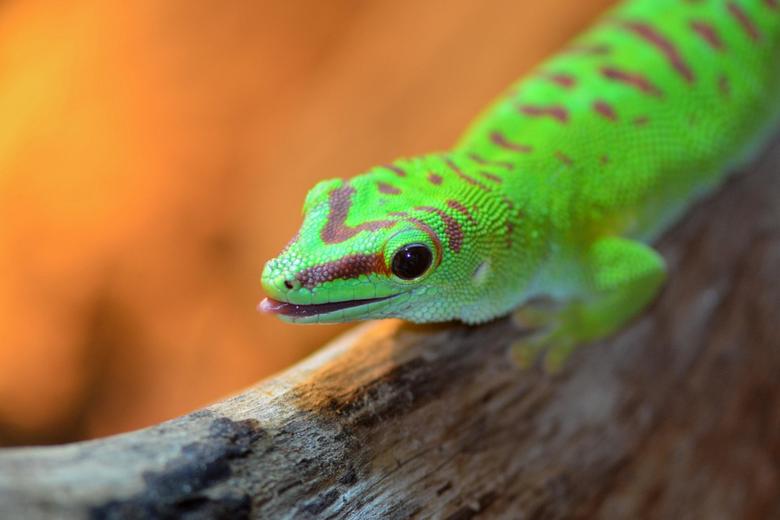 Green reptile on gray log closeup photo gecko HD wallpapers