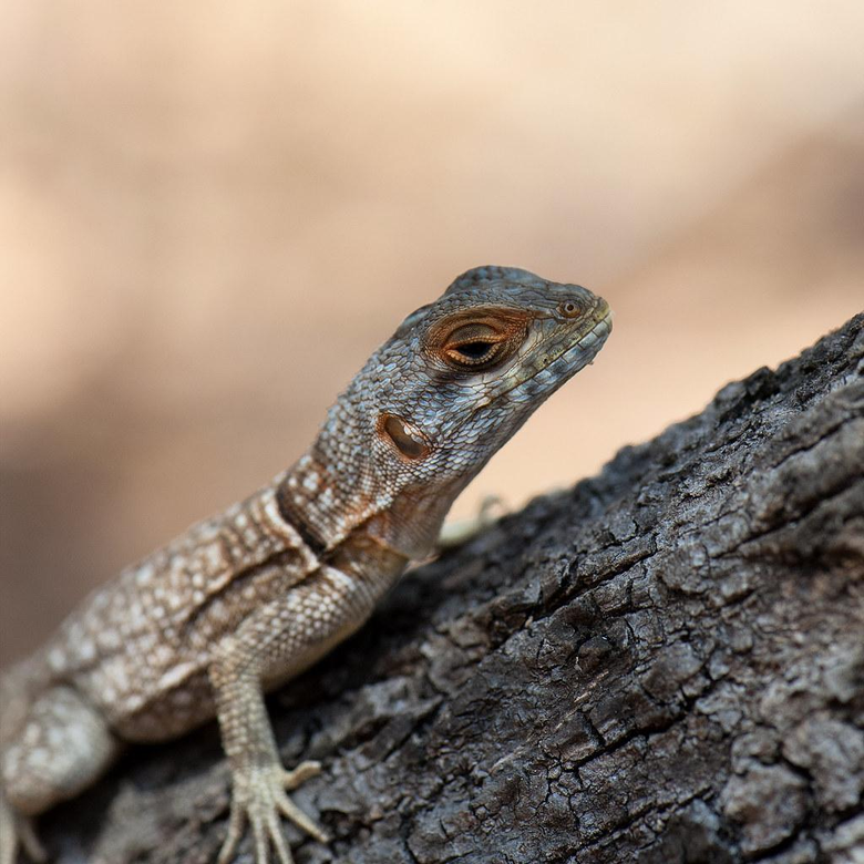 The World s most recently posted photos of iguanid