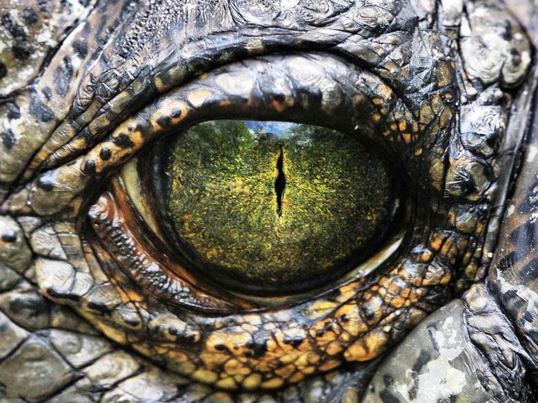 Crocodile Wallpapers 3