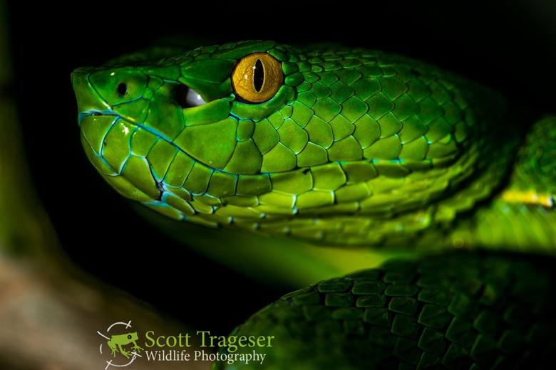 Vogel s Pit Viper Reptiles and Amphibians of Bangkok