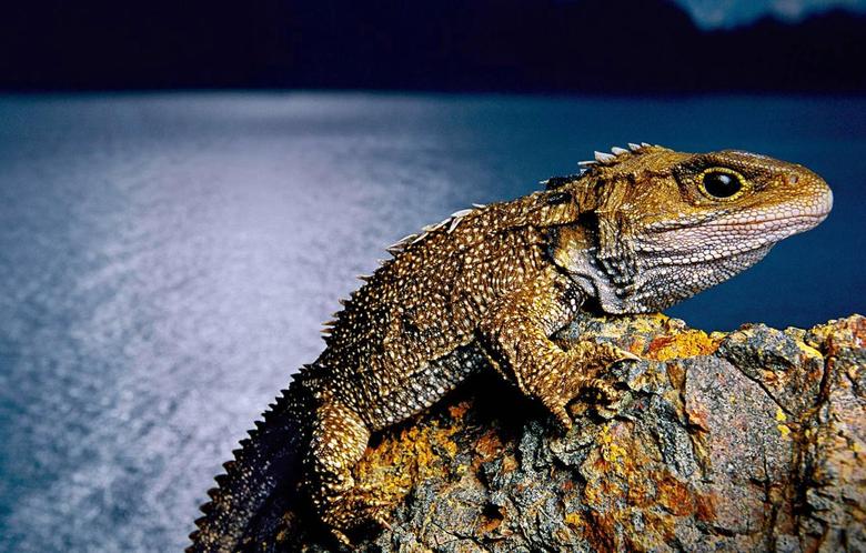 Wallpapers New Zealand lizard reptile tuatara clubology