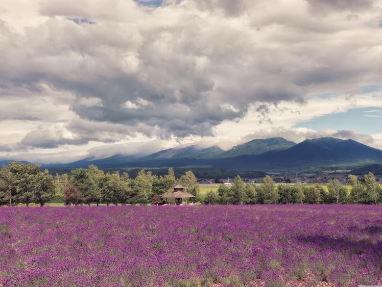 Lavender Field HD Wallpapers