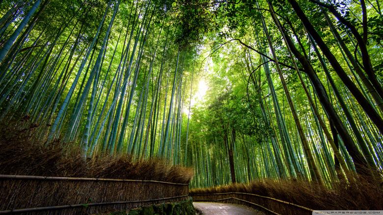 Quality Abraham Jefferson Arashiyama Bamboo Forest in Kyoto Japan