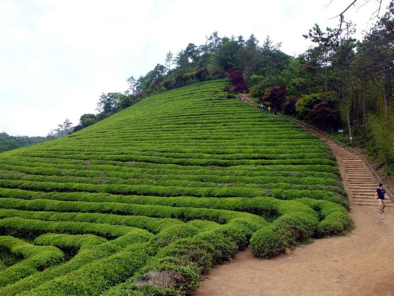 Destination Exploration The Green Tea Fields of Boseong