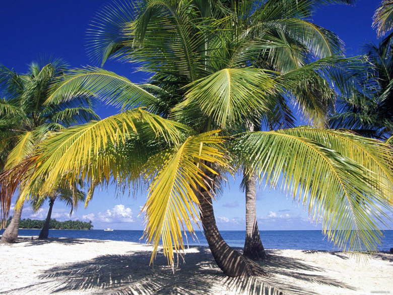 Palm trees in Belize coast nature palm trees tropics 1600x1200