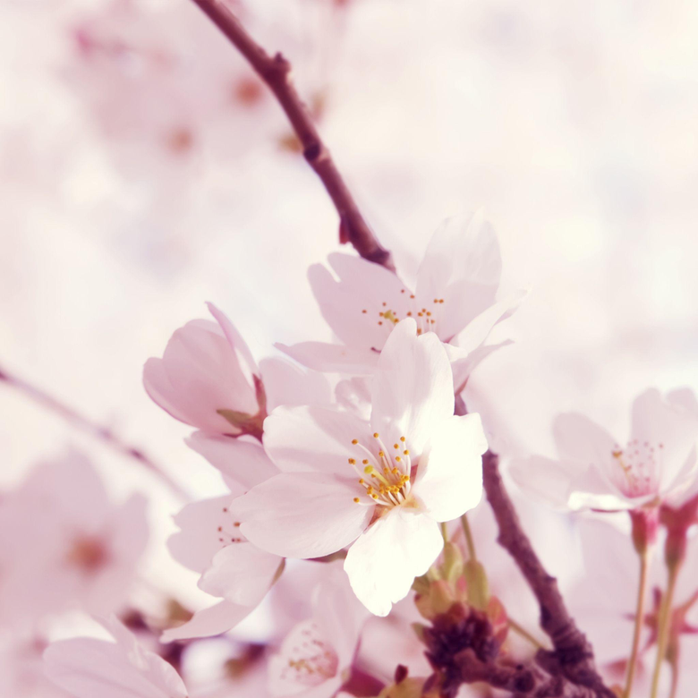Our beautiful state flower the Peach Blossom