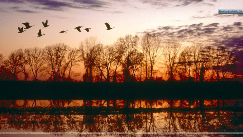 Canada Geese Migrating Missouri Wallpapers